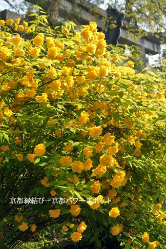 梨木神社の山吹