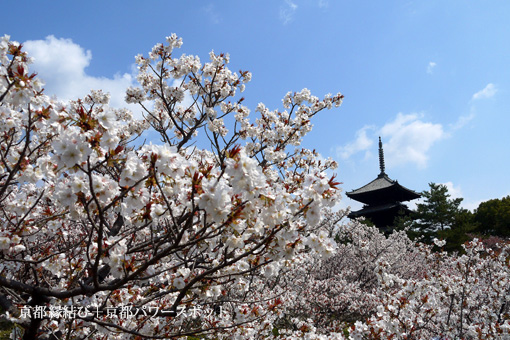 仁和寺の枝垂桜