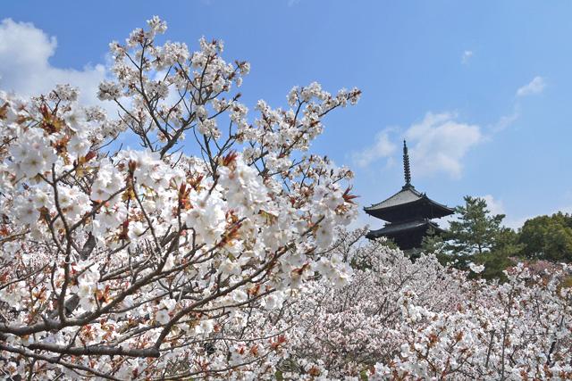 仁和寺の御室桜 五重塔