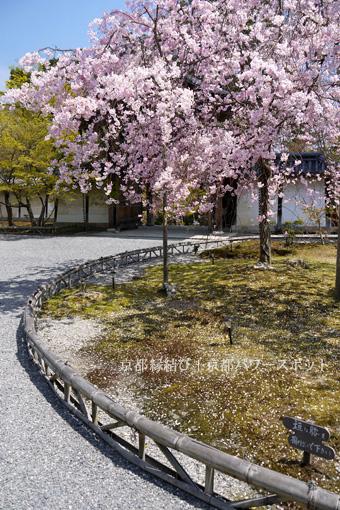 二尊院の桜