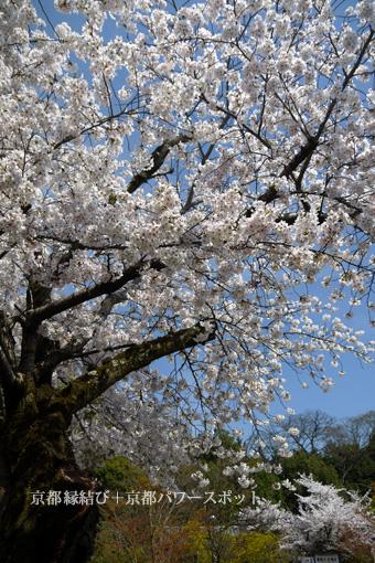 京都 乃木神社の桜