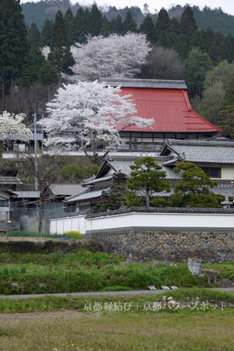 如是禅寺の桜