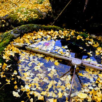 岩戸落葉神社のイチョウ