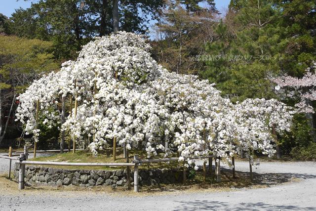 大原野神社の千眼桜