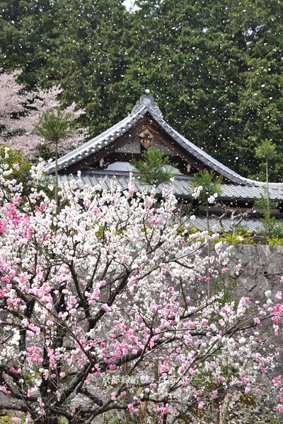 往生院の桜