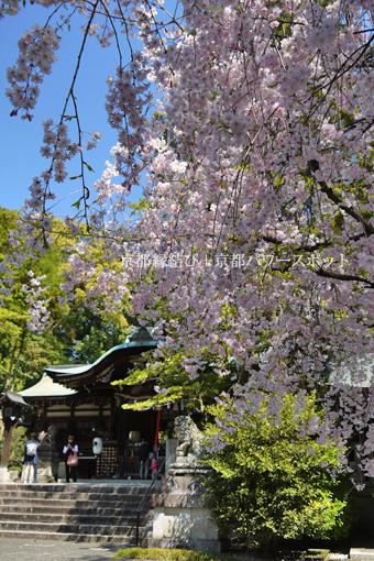 岡崎神社の桜