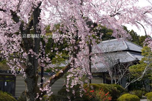 霊源寺の桜