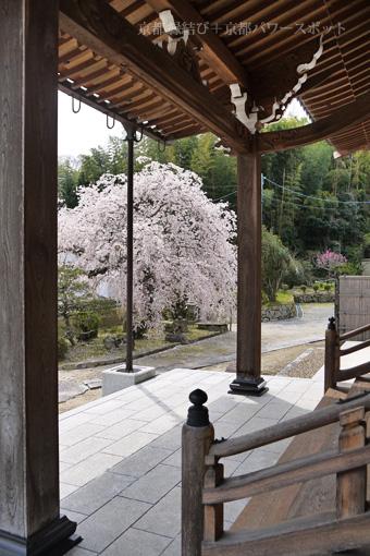 嶺松寺の桜