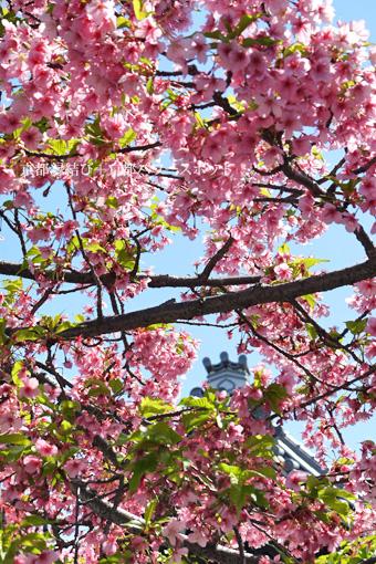 蓮光寺の桜