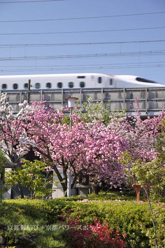 六孫王神社の八重桜