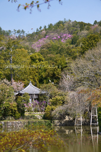 龍安寺の桜