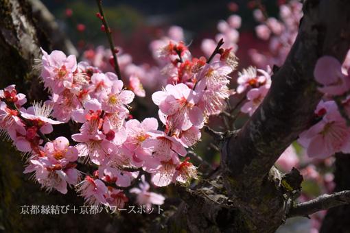 龍興寺の梅