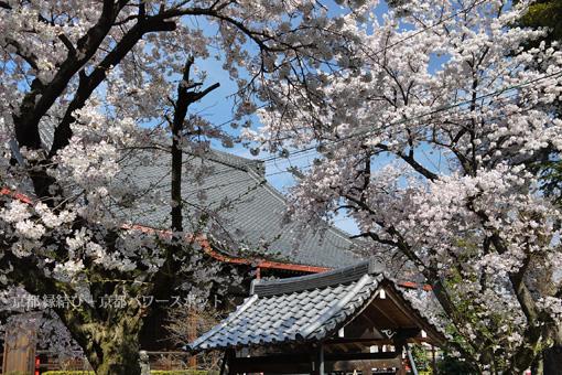 山科 西宗寺の桜