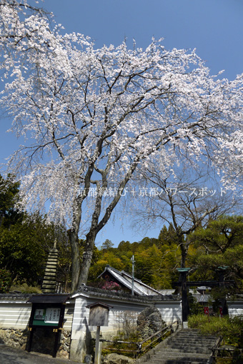 三宝寺の枝垂桜