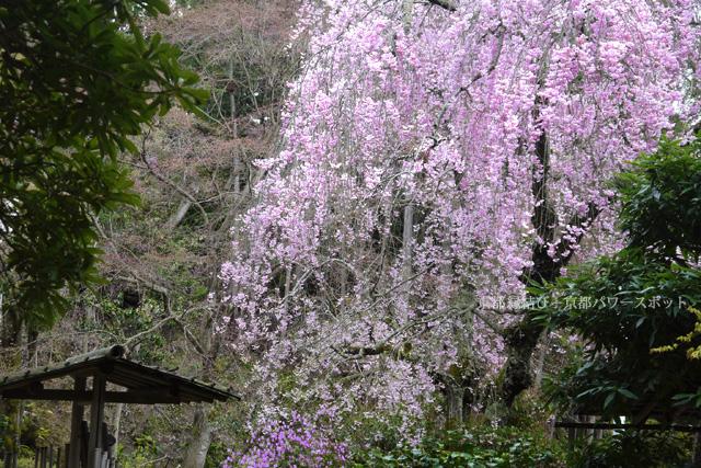 三宝寺の桜