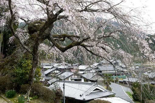 西願寺の桜