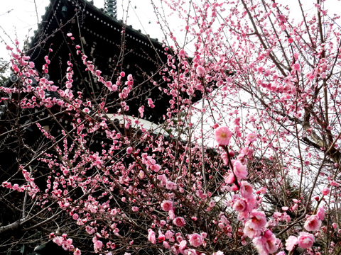 清涼寺の梅