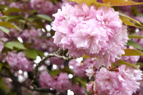 石峰寺の八重桜