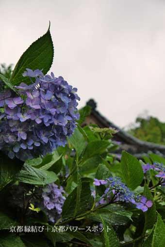 千本釈迦堂の紫陽花