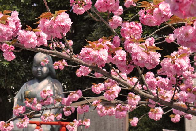 千本釈迦堂の八重桜