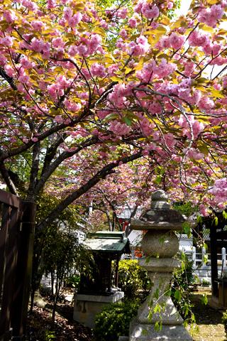 真如堂の八重桜
