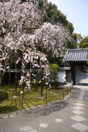新善光寺の桜