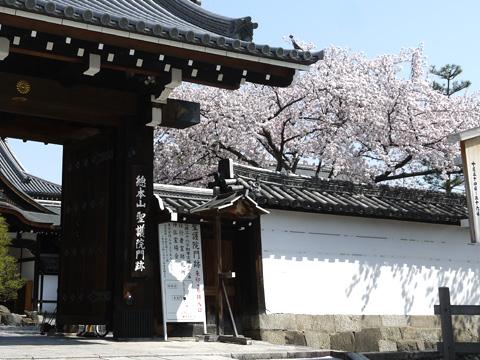 聖護院の桜
