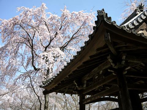 勝持寺の枝垂桜
