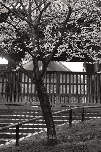 青蓮院の桜