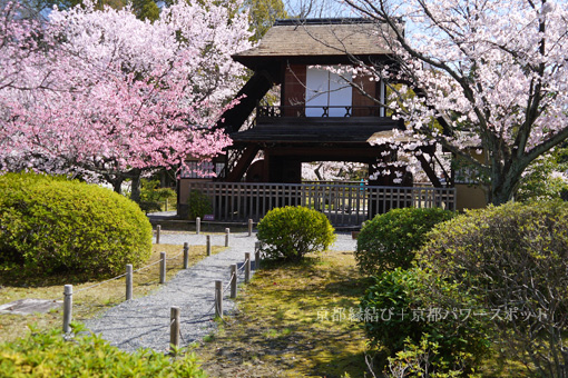 渉成園の桜