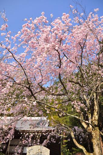 秀典寺の枝垂桜