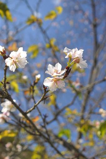 琵琶湖疏水 秋の桜