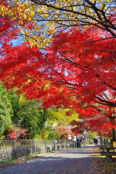 琵琶湖疏水の紅葉(山科)