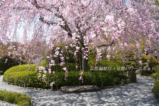 妙心寺 退蔵院の枝垂桜