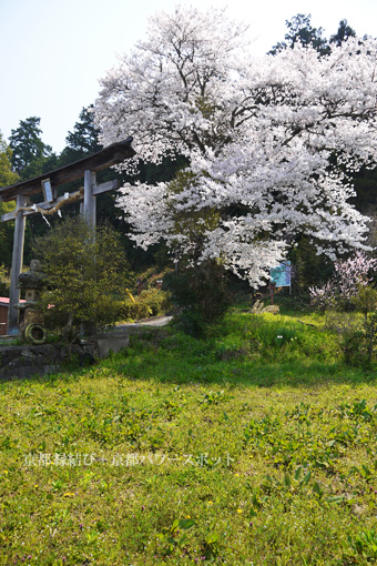 高津八幡宮の桜