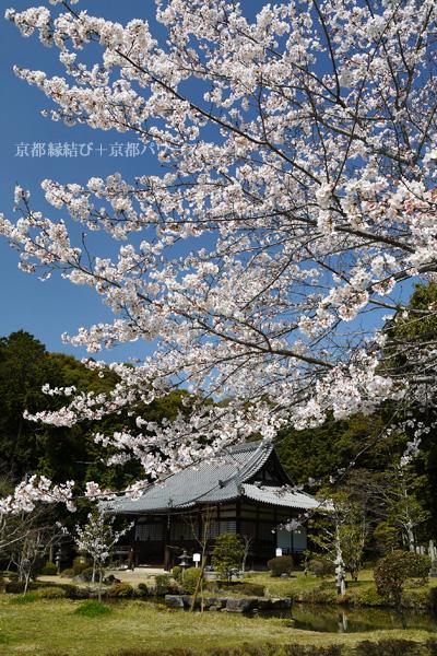 京田辺 観音寺の桜と菜の花