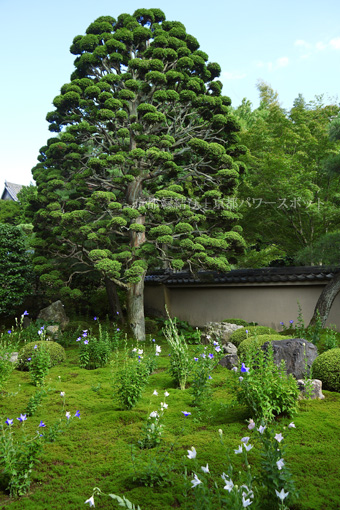 東福寺天得院 軍鶏檜葉