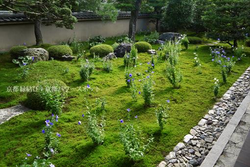 東福寺天得院 桔梗