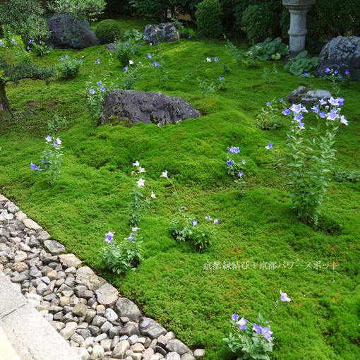 東福寺天得院 桔梗の写真