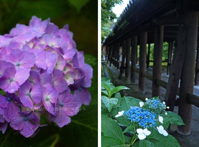 東福寺の紫陽花