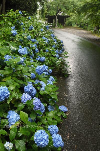 綾部東光院の紫陽花