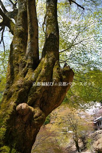 月輪寺の桜と石楠花
