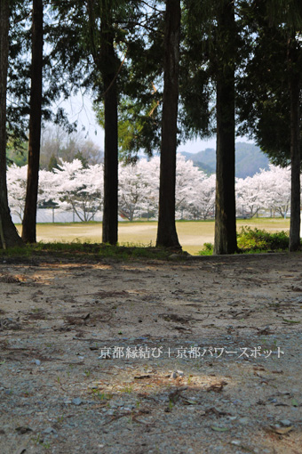 上宮神社の桜