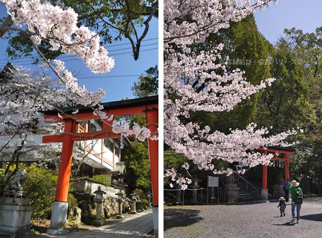 宇治神社の桜