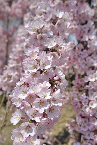 宇治市植物公園の枝垂桜