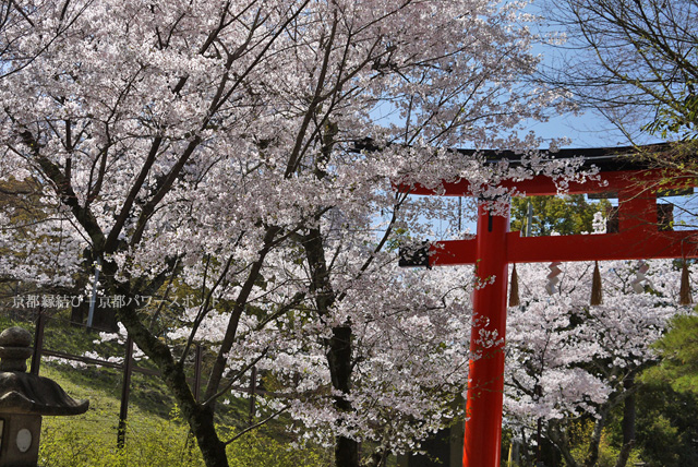 宇治上神社の桜