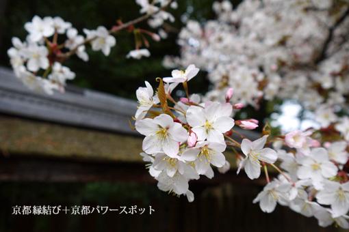 梅宮大社の桜