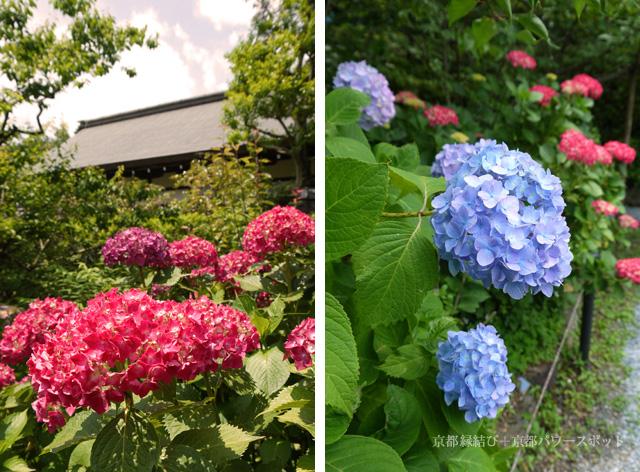 梅宮大社の神苑 紫陽花