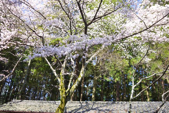 和束天満宮の桜