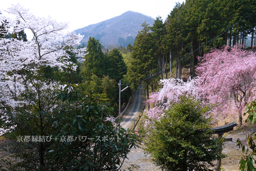下山八坂神社の桜